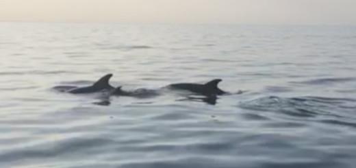 Dofins nedant just davant la platja de Calella