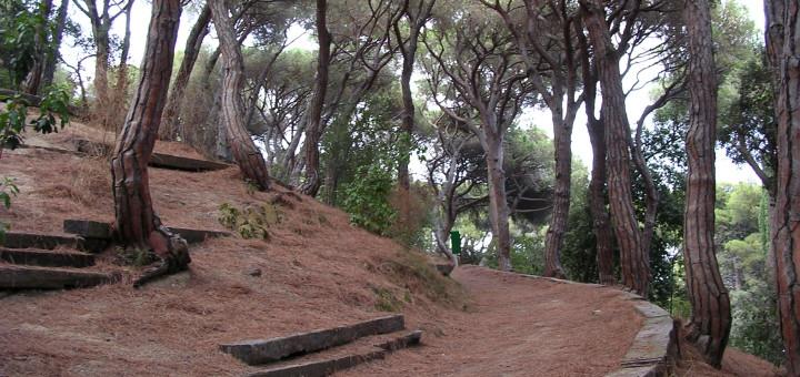 Exemplars de pins pinyoners al Parc Dalmau de Calella