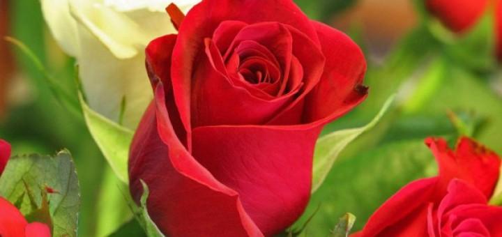 rosa_roja_con_espinas-1280x800-598x374