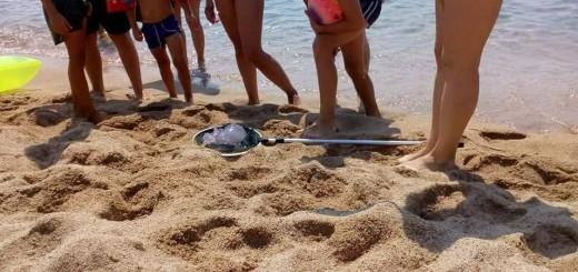 Un exemplar de medusa pescada per un grup de banyistes a la platja de Calella, ara fa uns dies