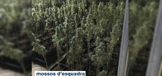desmantellament marihuana