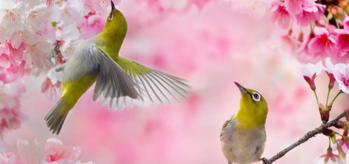 Two-birds-pink-sakura-flowers-spring_1920x1200