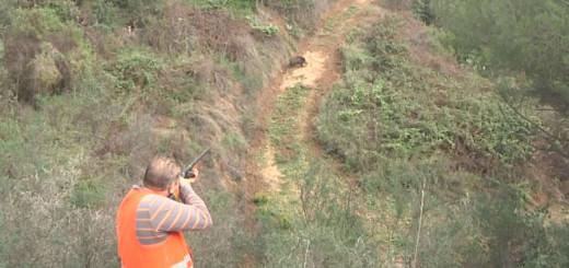 Caçador apuntant amb l' arma un senglar a Sant Pol de Mar