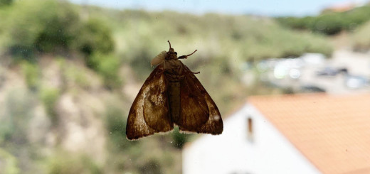 papallona suro