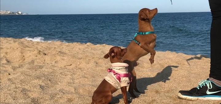 Gossos a la platja de Mataró.